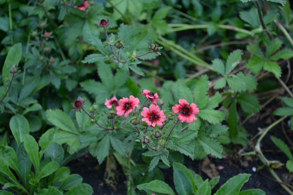 Лапчатка мисс вильмонт выращивание и уход