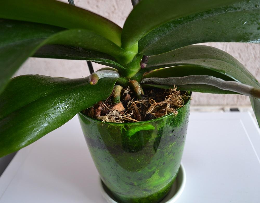 Какой грунт нужен орхидея фаленопсис